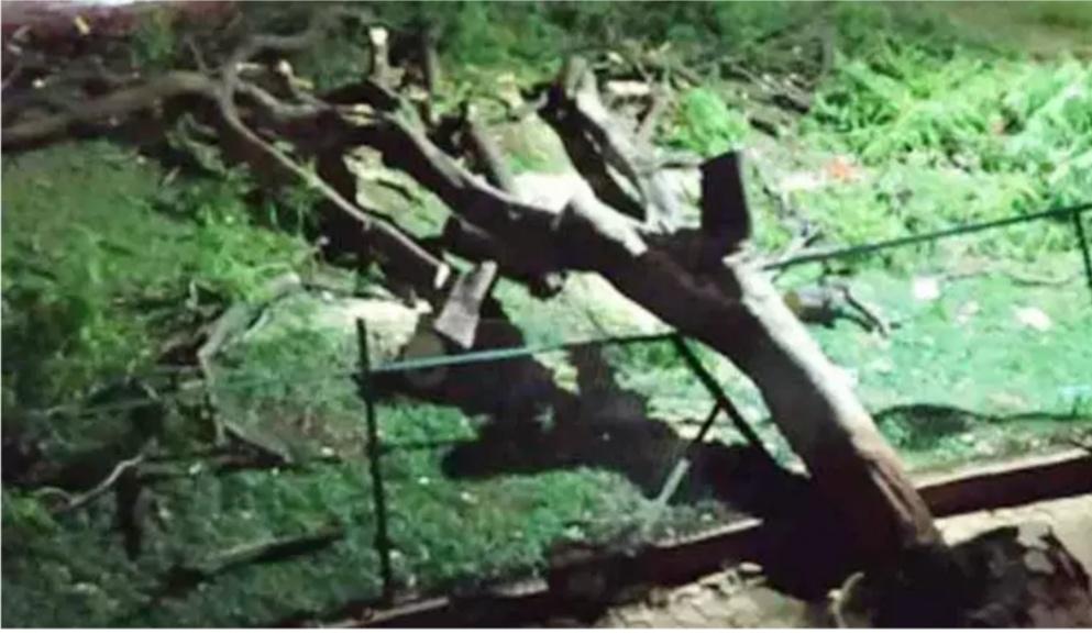 5-people-injury -tree-collapsed-pune-saras baug
